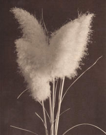 Pampas No.1-Click for a larger image